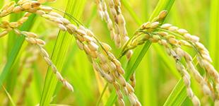 もち米のイメージ
